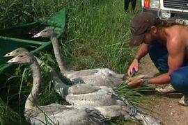 Лебедей-кликунов пересчитали и окольцевали