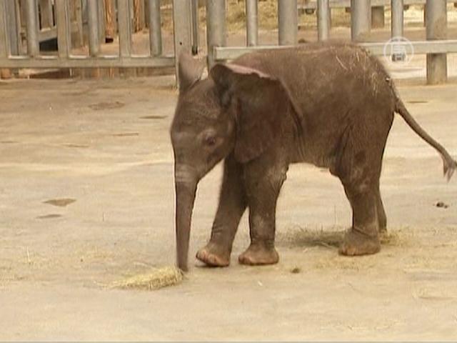Слонёнок осваивает уши, хобот и ноги