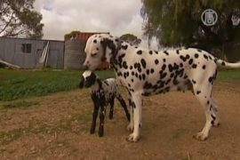 Пятнистого ягнёнка-сироту усыновили далматинцы