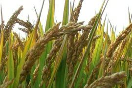 Китаю грозит инфляция из-за роста цен на зерно