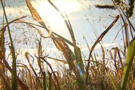 Засуха в России уничтожает зерно и сушит колодцы