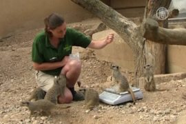 В зоопарке взвешивание: поймать и удержать!