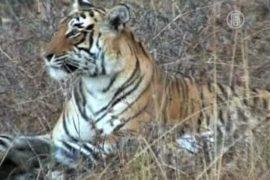Индийским тиграм грозит вымирание