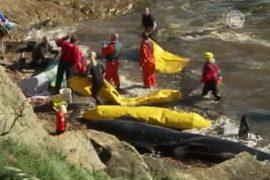 Сразу 26 китов-гринд выбросились на берег Шотландии