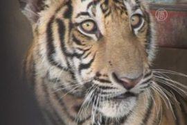 Шесть тигров нашли на крыше дома