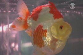 Самую красивую золотую рыбку мира выбирают в Китае