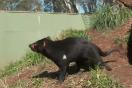 40 тасманских дьяволят родилось в питомнике