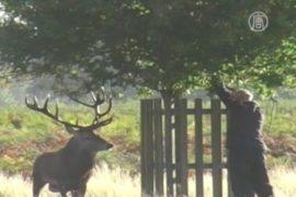 Разъяренный олень загнал британца на дерево
