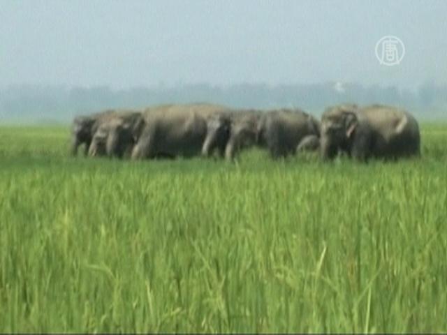 Слоны разбушевались и едят урожай