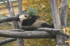 Панда из Австрии уедет на родину предков – в Китай