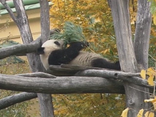 Панда из Австрии уедет на родину предков — в Китай