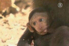Редкие макаки родились в зоопарке в Израиле