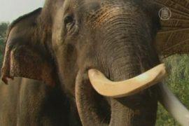 Знакомьтесь: Косик – слон, говорящий по-корейски