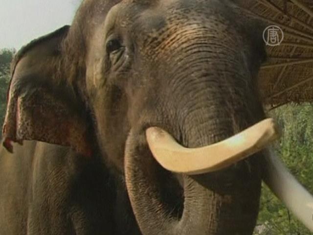 Знакомьтесь: Косик — слон, говорящий по-корейски