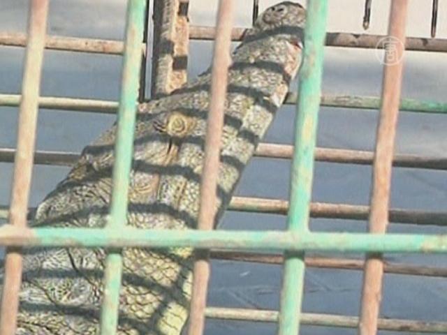 Поймать крокодила помог Google