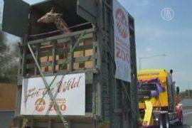 Как в Австралии перевозили жирафа за 400 км