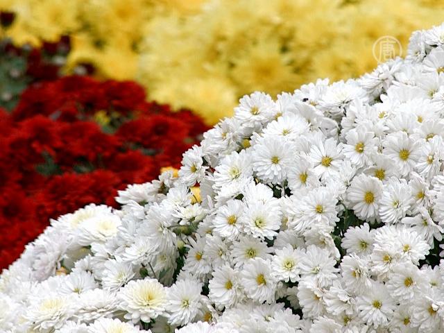 Тысячи хризантем расцвели на киевских холмах