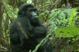 Горилл в Уганде стало больше