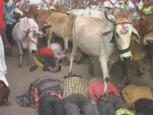 Коровы бегут по спинам набожных индийцев