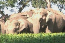 Слоны уничтожают чайные плантации Индии
