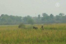 На поля фермеров нападают парнокопытные «боевики»