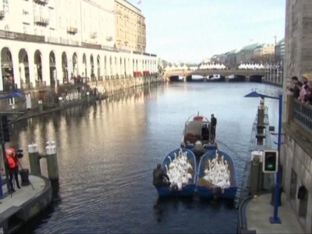 Гамбургских лебедей переводят на «зимние квартиры»