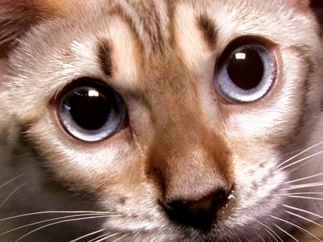 Редчайшую породу кошек представили в Киеве
