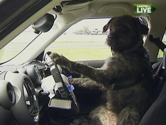 Три собаки учатся водить автомобиль