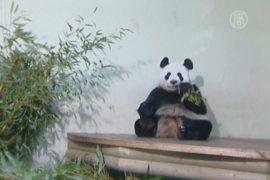 Панды празднуют годовщину пребывания в Шотландии