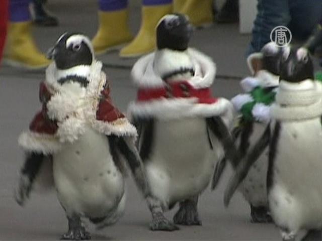Японский Санта взял в помощники пингвинов