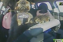 Собака ведёт автомобиль без посторонней помощи