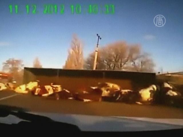 Крушение грузовика с коровами сняли на видео