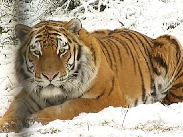Тигры наслаждаются снегопадом в парке дикой природы