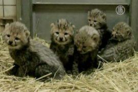 Детёныши гепарда готовы к дебюту в Токио