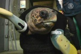 Для черепахи-инвалида разрабатывают ласты-протезы