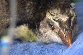 Заблудившийся пингвин приплыл в Новую Зеландию