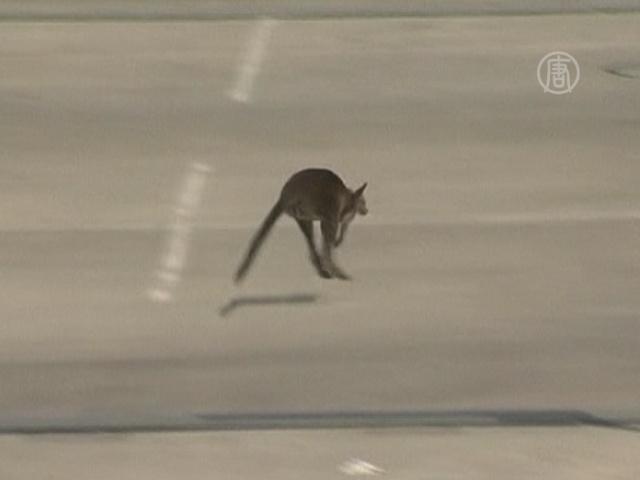 В торговом центре в Мельбурне ловили кенгуру