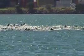 Стая из 100 дельфинов впечатлила Веллингтон