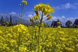 Горчица – мистический цветок счастья и здоровья