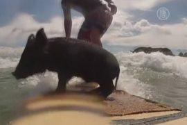 Хрюшка-серфингист — сенсация пляжа Новой Зеландии