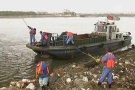 Более 2000 мёртвых свиней плавали в реке в Шанхае