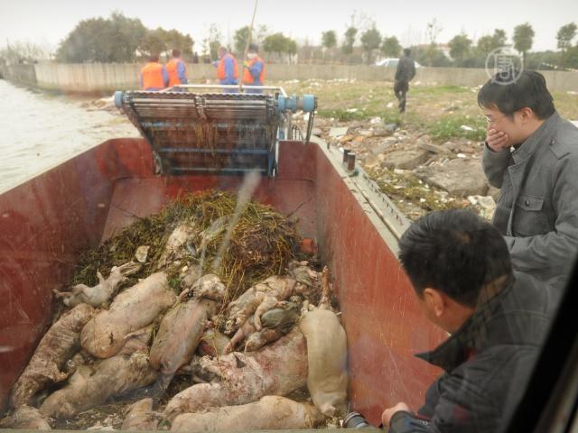 Из Хуанпу выловили уже 9500 свиных трупов