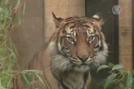 От исчезающих суматранских тигров ждут потомства