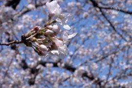 Токийская сакура в полном цвету