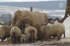 Снегопады в Британии: овец спасают с вертолетов