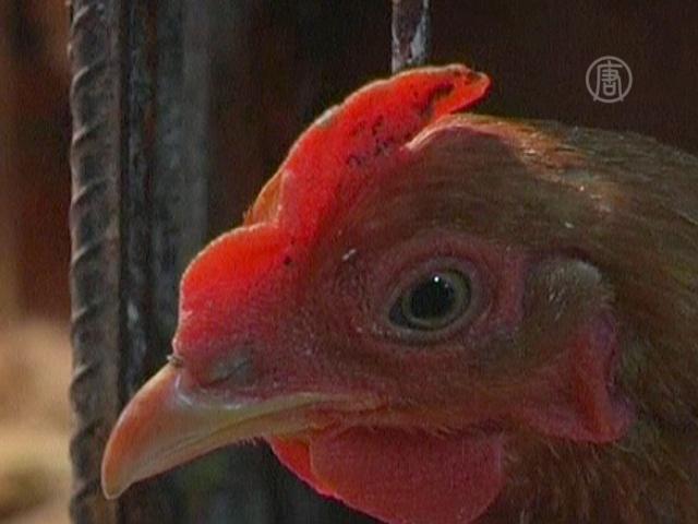 В Китае умирают от нового штамма птичьего гриппа