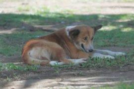 Пускать бездомных псов на сосиски хотят в Самоа
