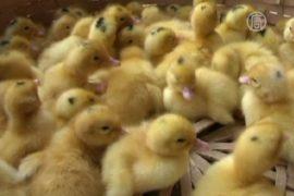 H7N9 в Китае: домашняя птица – не главный источник