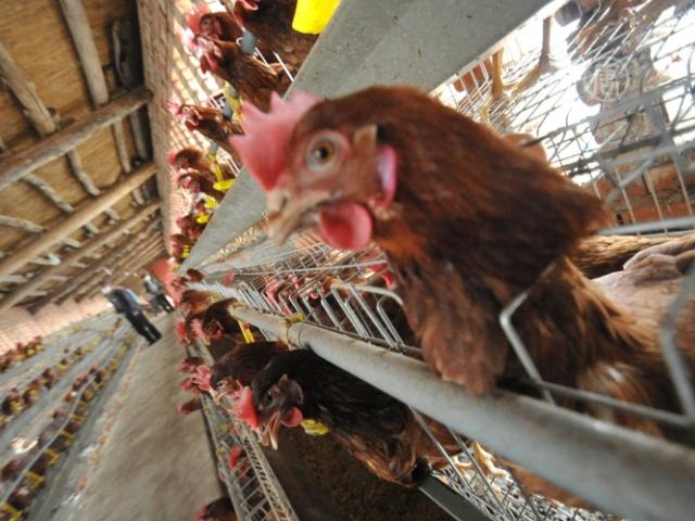 Эксперт из США: опасен ли птичий грипп H7N9