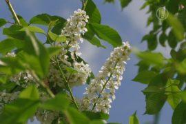 Украинские казаки отметили День цветения черемухи